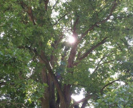 ve spojení se starým dubem